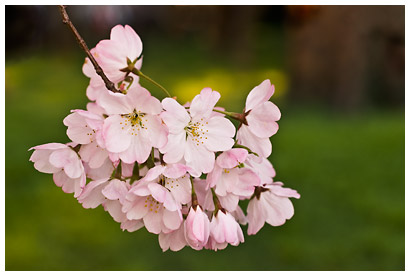 Cherry_blossoms_1.jpg
